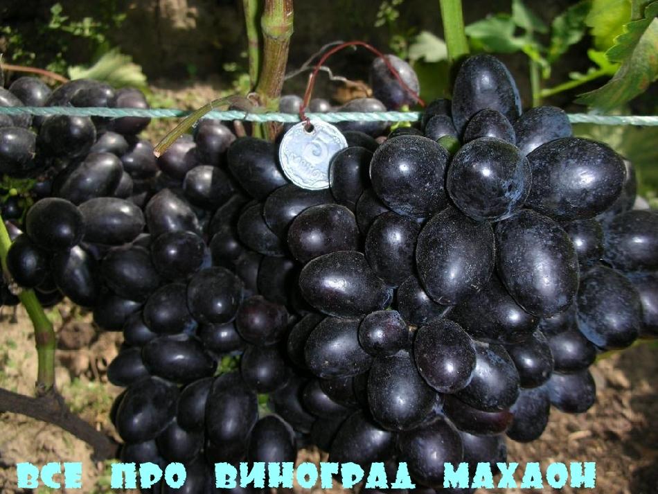 Всё про виноград Махаон