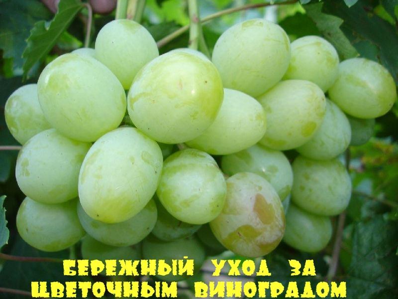 Бережный уход за Цветочным виноградом