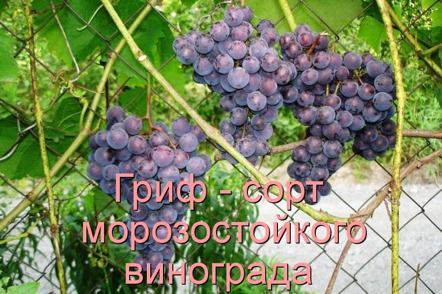 Гриф - сорт морозостойкого винограда
