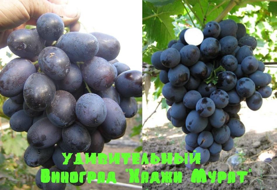 удивительный виноград хаджи мурат