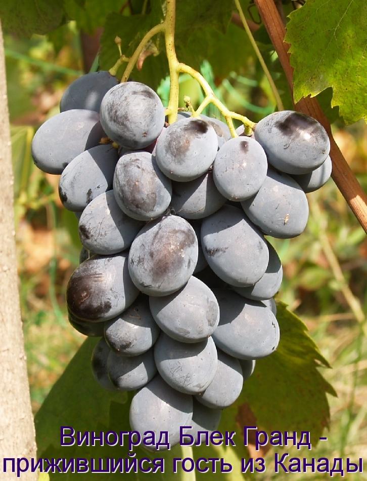 Виноград Блек Гранд - прижившийся гость из Канады
