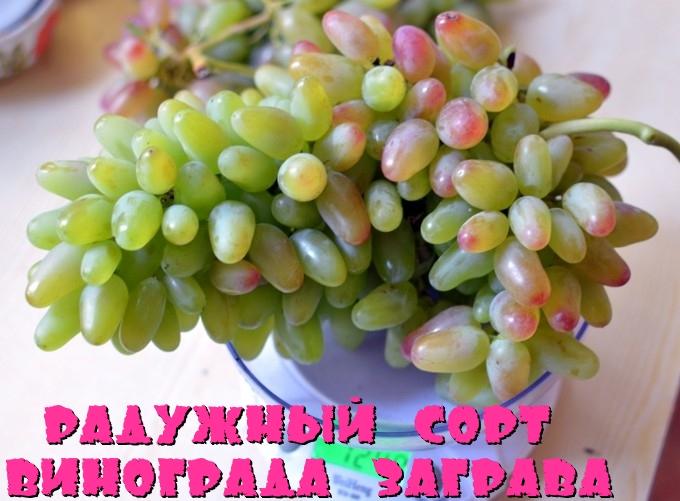 Радужный сорт винограда Заграва