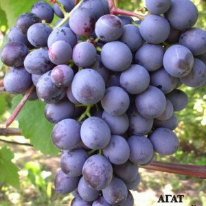 агат виноград
