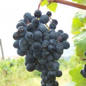 описание винограда сапирави