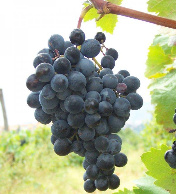 виноград саперави описание сорта фото