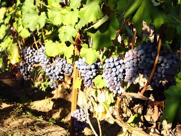 посадка винограда махаон