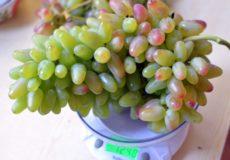 Виноград заграва