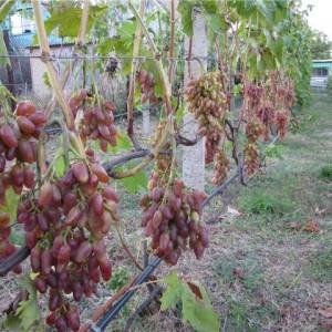 """урожайность винограда """"заграва"""""""