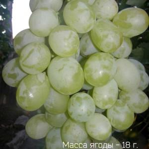 Хранение винограда Антоний Великий