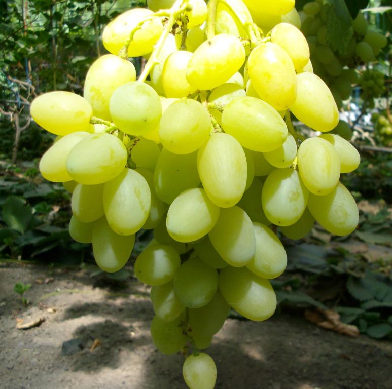 "виноград ""ландыш"""