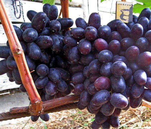 кисти винограда хаджи мурат