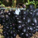 виноград махаон
