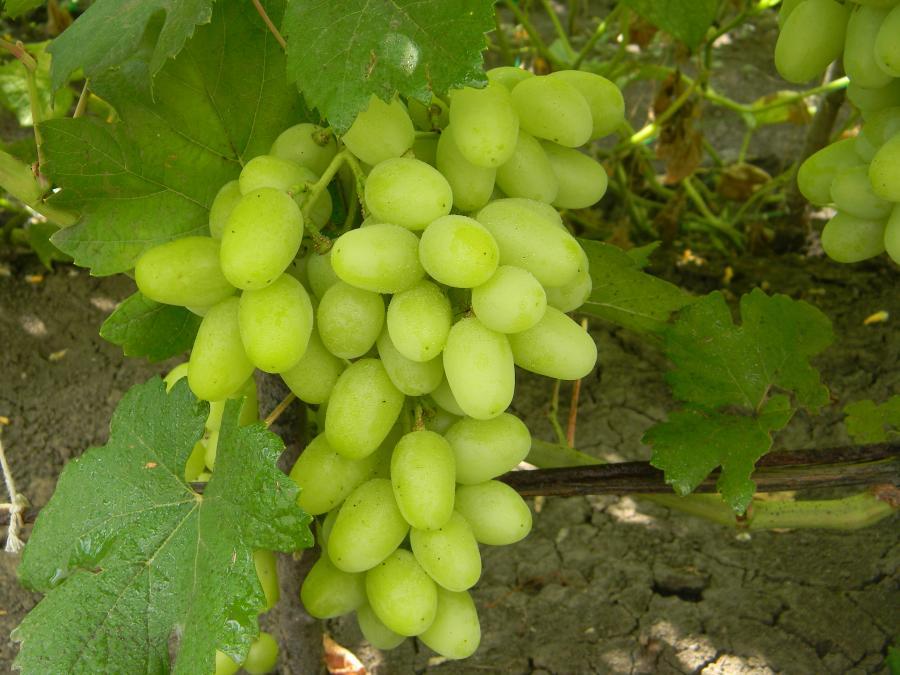 Виноград ландыш описание