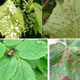 листья винограда -болезни