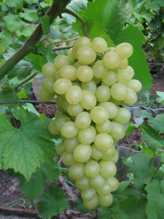 гроздь винограда Катя
