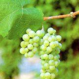 виноград Рислинг мини