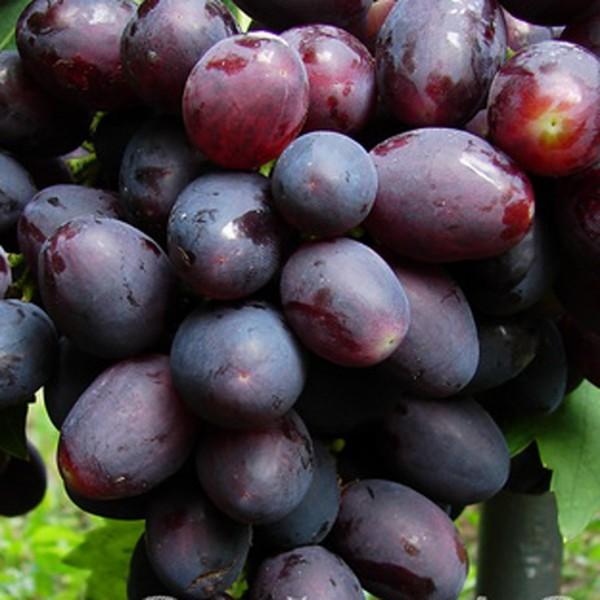 ягоды сорта Томайский