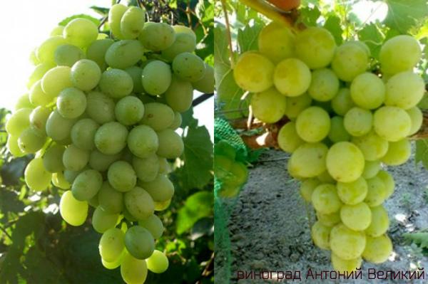 гланая виноград Антоний Великий