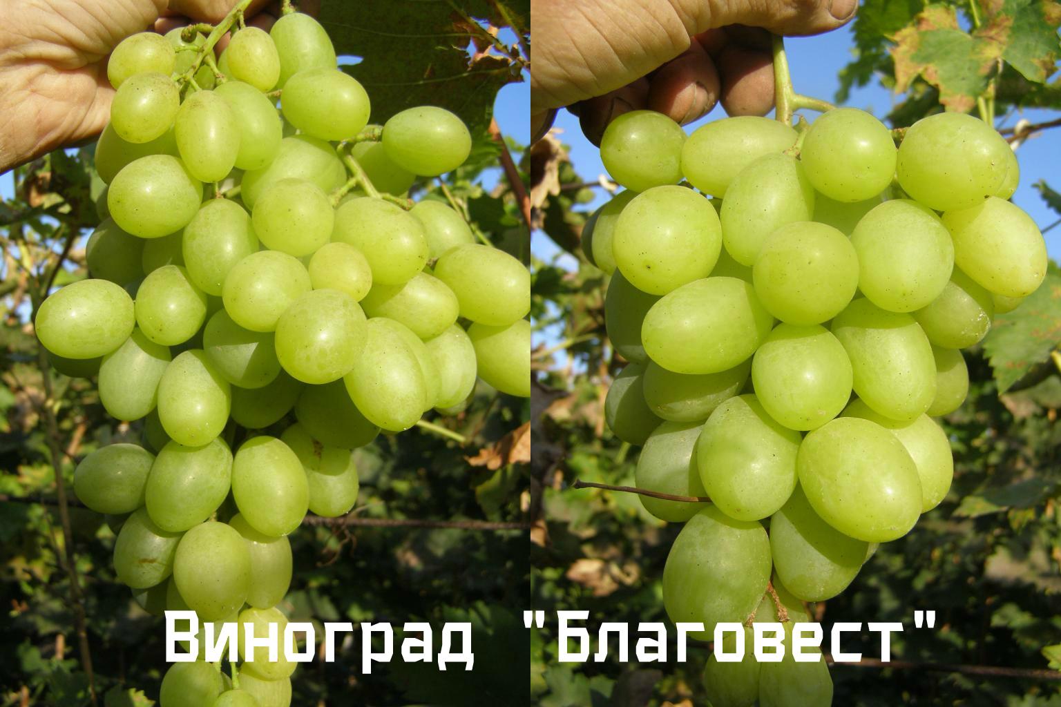 виноград благовест главная