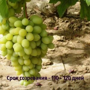 виноград благовест срок созревания