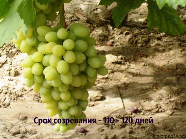 Виноград изюминка  описание