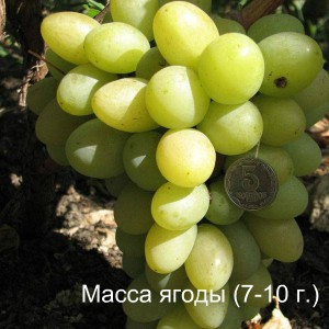 виноград благовест масса ягоды