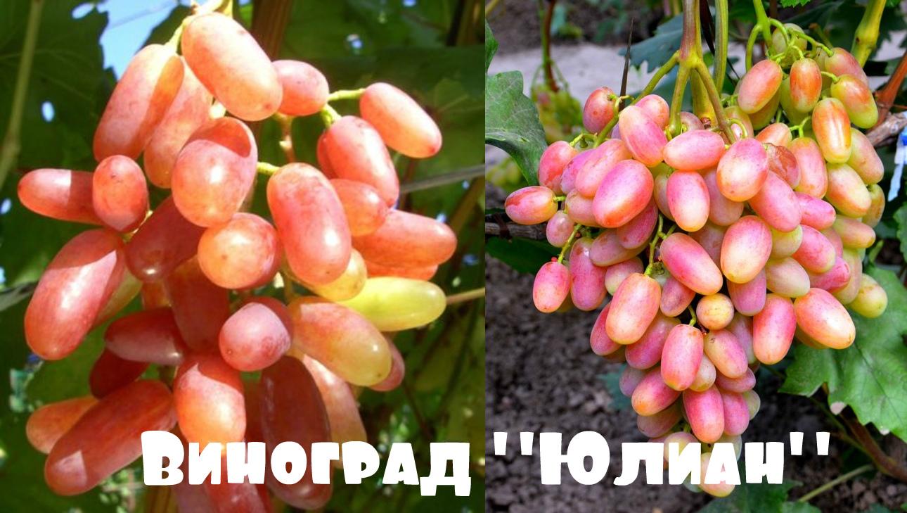 главная виноград Юлиан