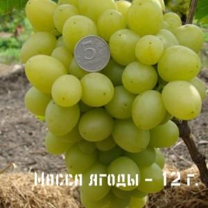 виноград надежда масса ягоды