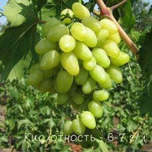 виноград надежда кислотность