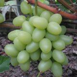 виноград надежда мини