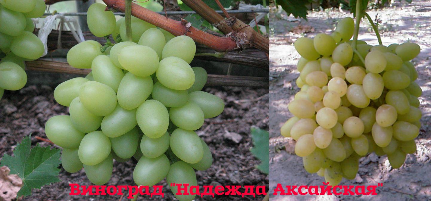 виноград надежда