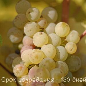 виноград рислинг срок зозревания