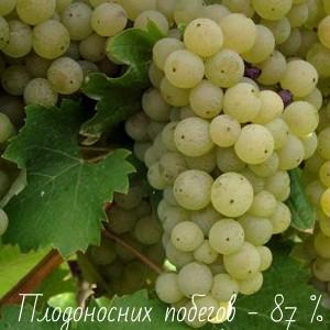 виноград рислинг плодоносные побеги