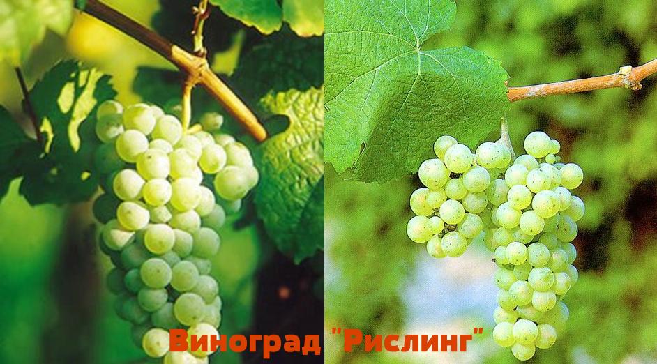 виноград рислинг главная