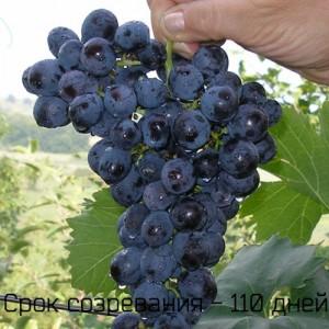 срок созревания виноград Муромец