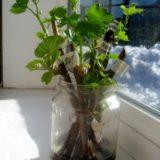 розмножение винограда в домашних условиях