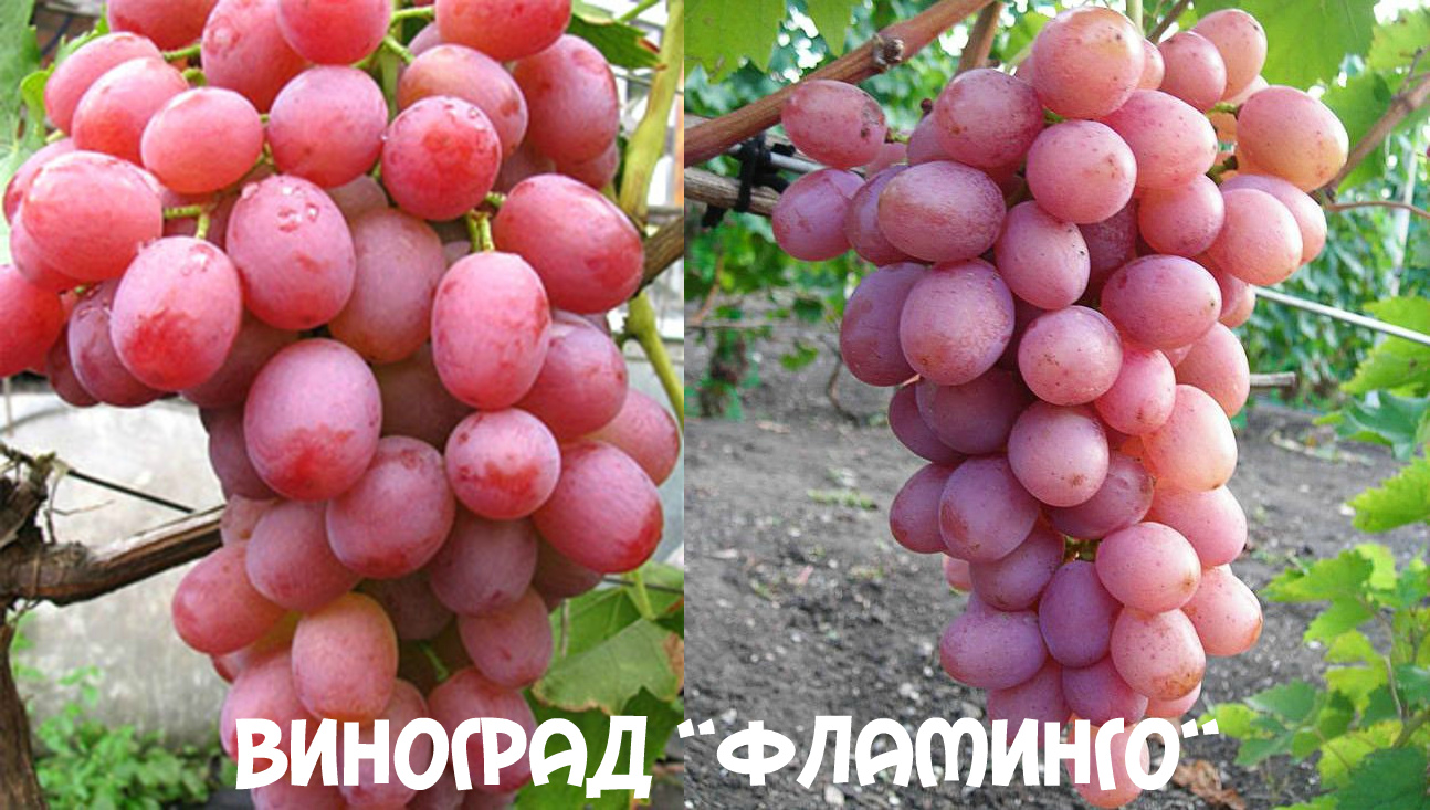 виноград Фламинго главная