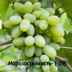 виноград Эльф морозостойкость