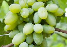 виноград эльф мини