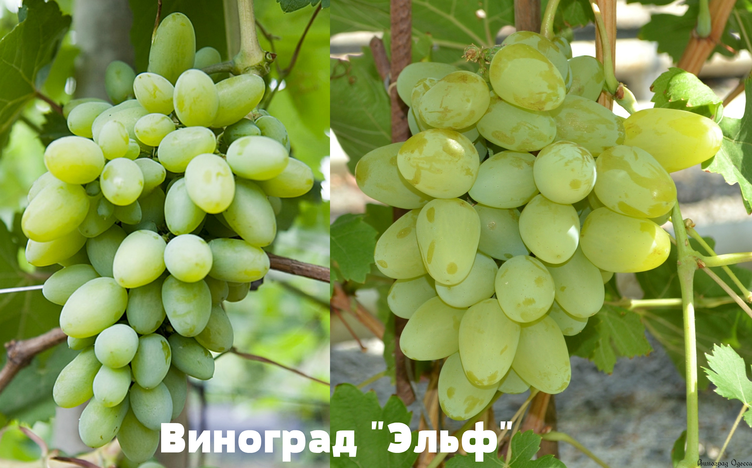 виноград Эльф