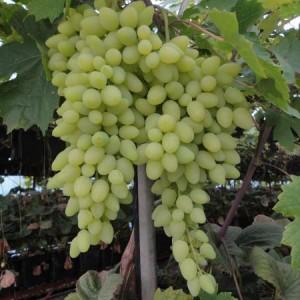 винные и кишмишные сорта виноград долгожданный