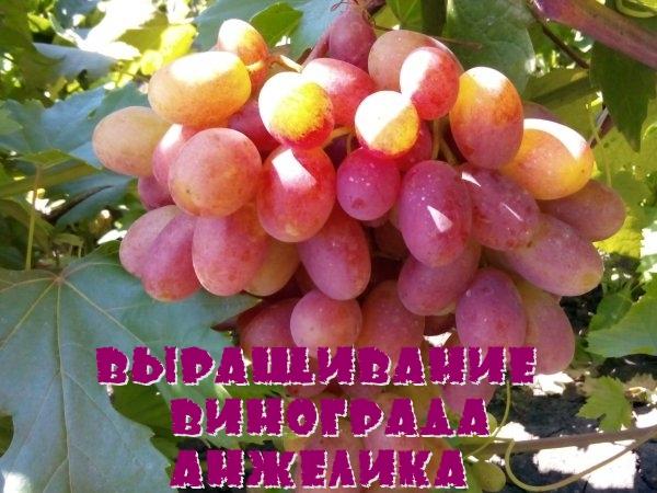Выращивание винограда Анжелика