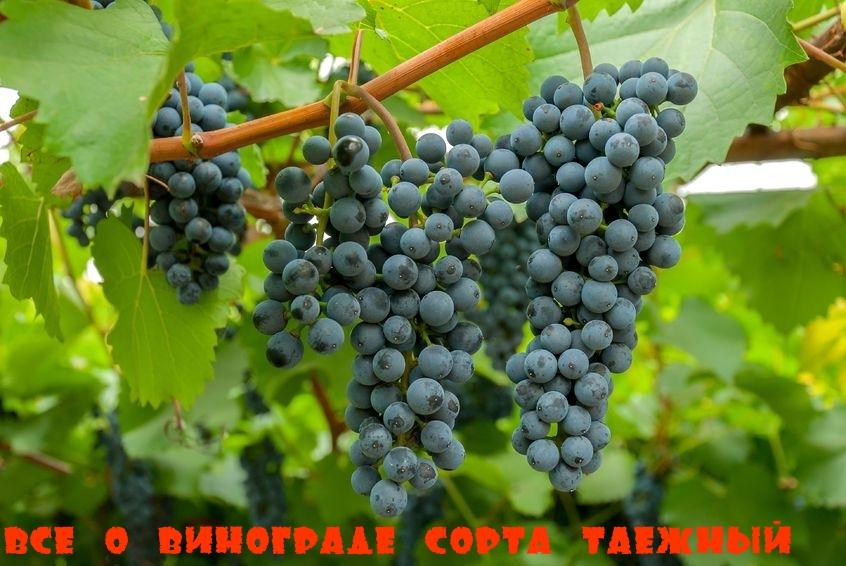 Всё о винограде сорта Таежный