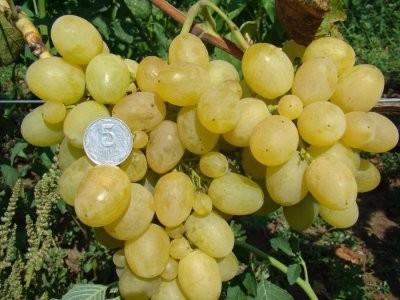 ягоды винограда перврзванный