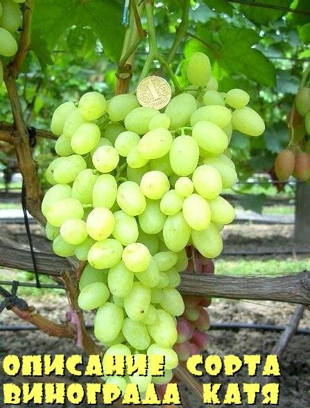 Виноград Катя