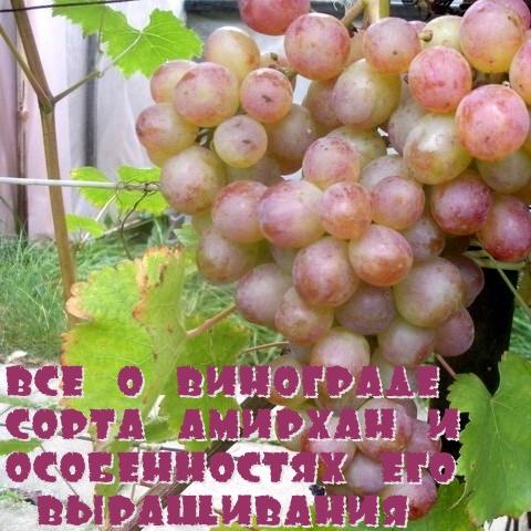 Все о винограде сорта Амирхан и особенностях его выращивания