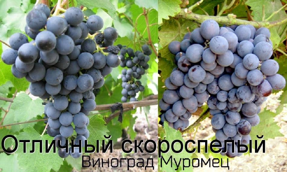Отличный скороспелый виноград Муромец