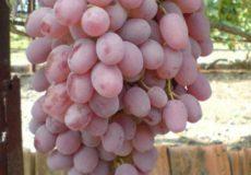розовый виноград тайфи