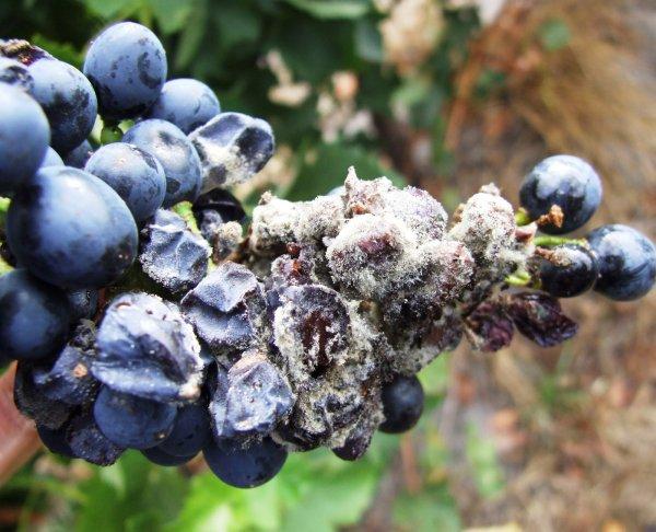 белая гниль на ягодах винограда