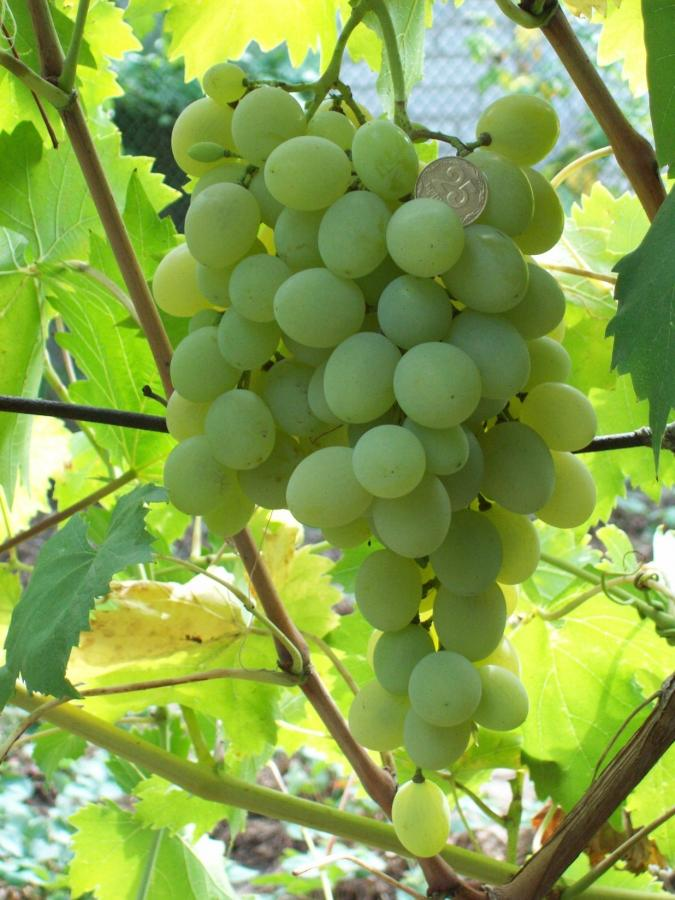 кисть винограда метеорит